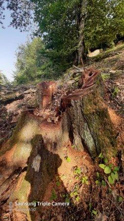 Lerik meşələrinin qırılması Ekologiya və təbii sərvətlər nazirliyi səviyyəsində həyata keçirilir! Video-Audio